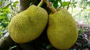 Jackfruit_small