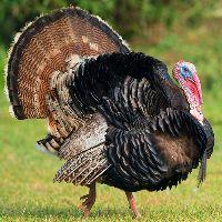 big turkey_small