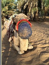 Camel ride anyone_small