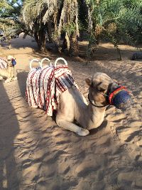 Ready to ride the camel_small