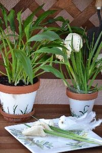 a calla lily plant and my potted call lily sandwiches and even some on a plate_small