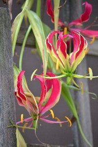 My Glorioso orchid vine_small