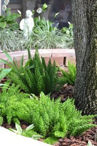 foxtail ferns in retaining wall_small