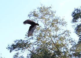 turkey vulture flying by_small