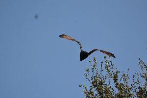 turkey vulture in flight 2_small