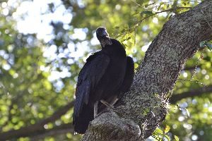 turkey vultures in our backyard_small